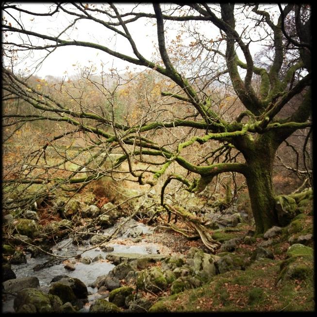 ashnesstree